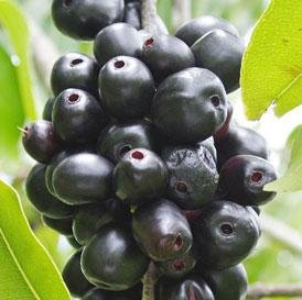 The Health Benefits of Jambul or Jamun