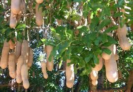 Kigelia africana (lam.) Benth Omwisya,