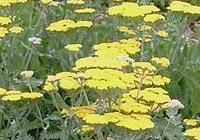 Yarrow (milfoil) Achillea millefolium