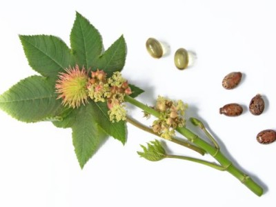 Amaizing Health Benefits of Custor Seed